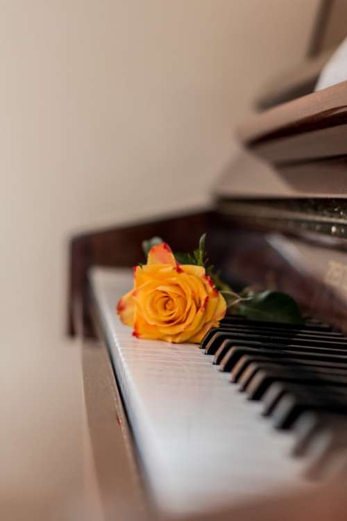 Piano Music Rose Piano Keys Musical Instrument