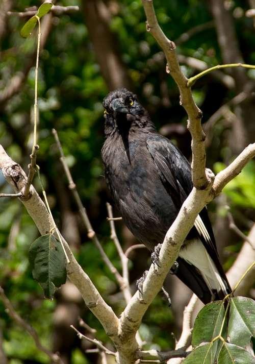 Pied Currawong Strepera Graculina Bird Black