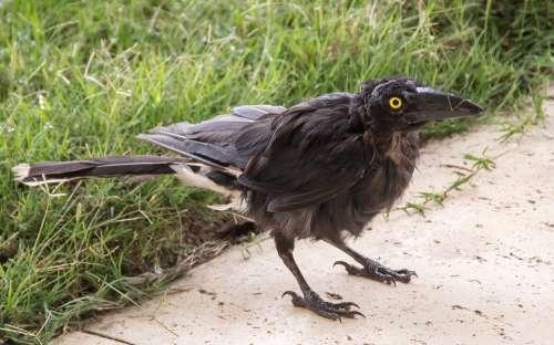 Pied Currawong Young Strepera Graculina Bird Black