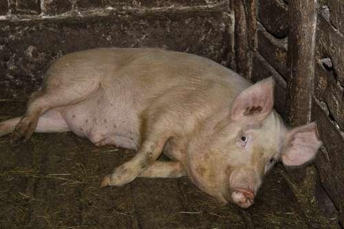 Pig Farm Piglet Cattle