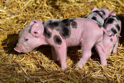 Piglet Pig Young New Born Animal Mammal Farm