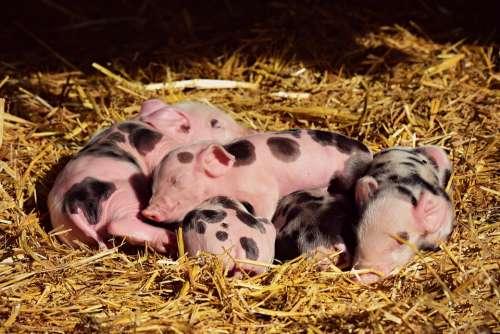 Piglet Pig Young New Born Animal Mammal Sleeping