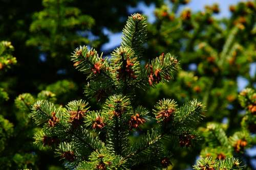 Pine Needles Tap Evergreen Branch Conifer Plant
