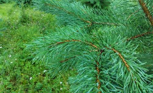 Pine Green Forest Nature Tree Evergreen Forests