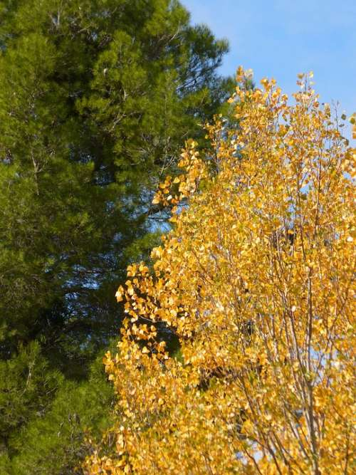 Pine Poplar Green And Yellow Autumn Contrast
