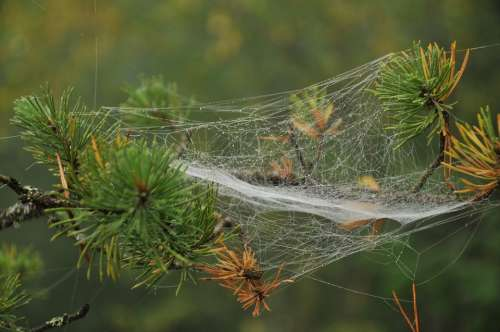 Pine Branch Spider Web Conifer