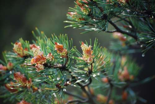 Pine Cones Green Forest Nature