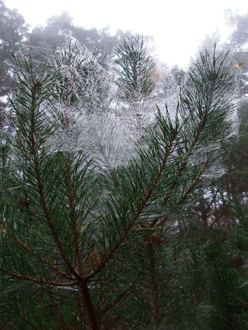 Pine Spider Webs Feenschleier November