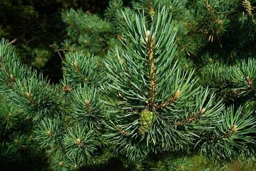 Pine Needles Macro Cone Unripe Branch Forest