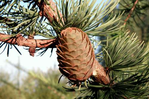 Pine Cone Spruce Needles Tree Green Cones Forest