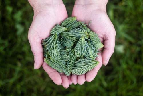 Pine Leaves Green Hands Holding Natural Sprouts
