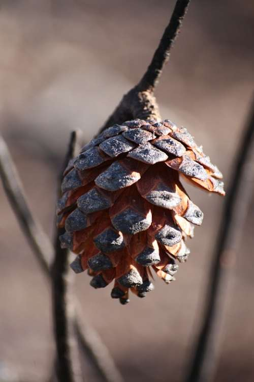 Pinecone Forest Nature