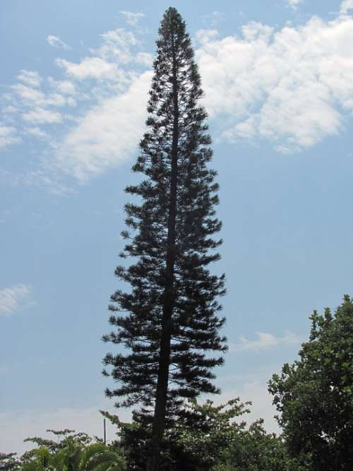 Pinheiro Tree Nature High