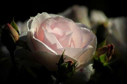 Pink Blossom Bloom Rose Dew Pink Rose Close Up