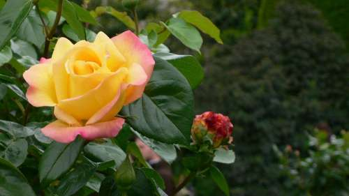 Pink Flower Yellow