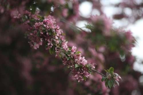 Pink Blossom Nature Tree Branch Bloom Petal