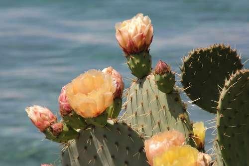 Plant Cactus Nature Croatia Krk Garden Sea