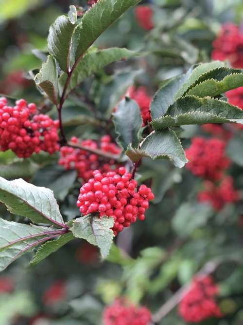 Plant Rowanberries Nature Bush Berries Autumn Red