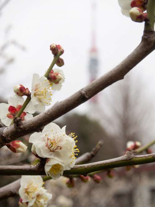 Plum Spring Tokyo Tower Plum Blossoms White