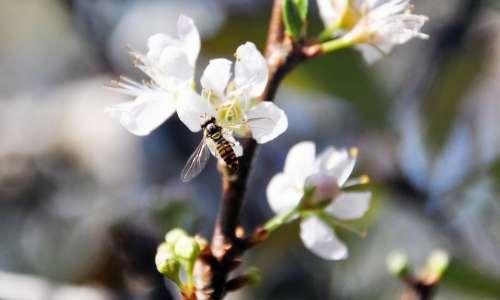 Plum Blossom Bee Flower Quentin Chong Pollen