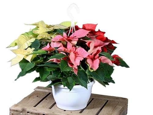 Poinsettia Red White Flower Christmas