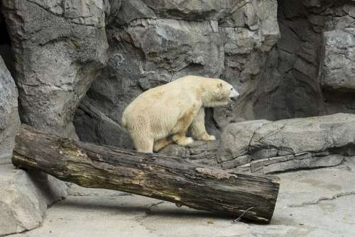 Polar Bear Zoo White Wildlife Nature Rock