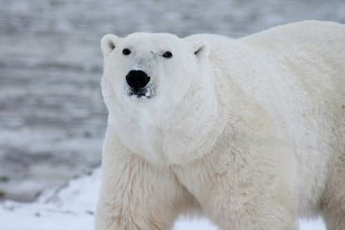 Polar Bear Arctic Wildlife Snow Wild Carnivore