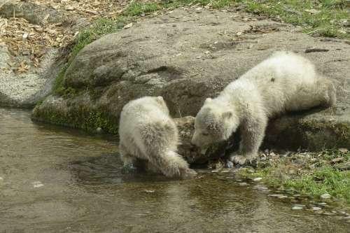 Polar Bear Cubs Animal Mammal Nature Wildlife