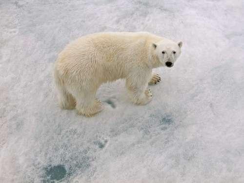 Polar Bear Male Arctic Circle With Paw Prints
