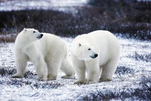 Polar Bears Wildlife Snow Nature Wild Mammals