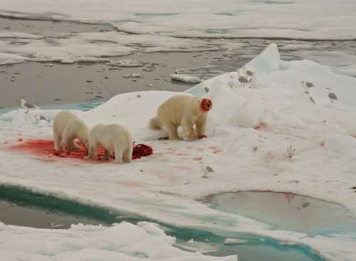 Polar Bears Feeding Arctic Circle