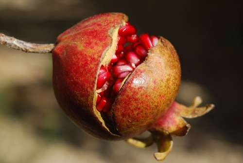 Pomegranate Fruit Flower Exotic Anti-Oxidant
