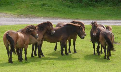 Ponies Herd Horse Animal Group Freedom Exmoor
