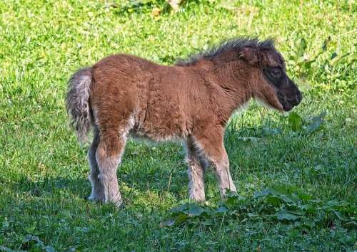 Pony Foal Animal Pasture Nature Mammal