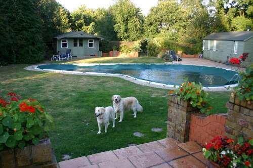 Pool Golden Retriever Dog