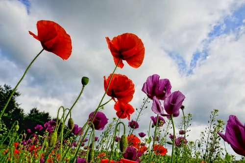 Poppies Flowers Poppy Red Nature Mohngewaechs