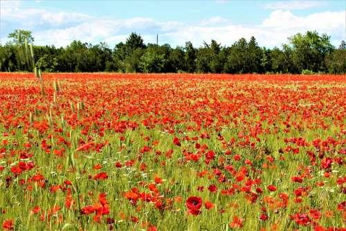 Poppies Field Fleuri Nature