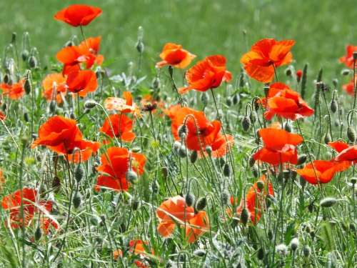 Poppies Flowers Blossom Summer Red Field Meadow