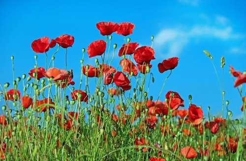 Poppy Flower Klatschmohn Blossom Bloom Red