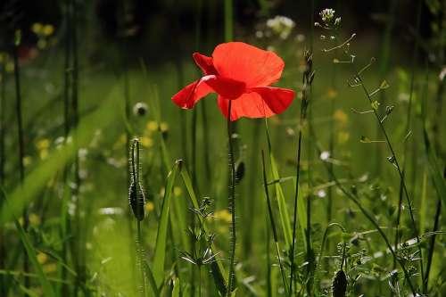 Poppy Flower Nature Wild Flower Wild Flowers Field