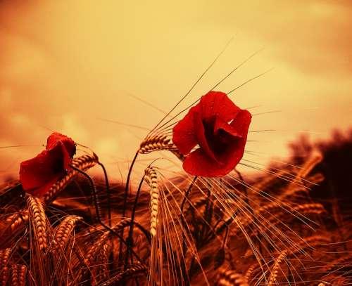 Poppy Flower Red Wildflower Field Summer
