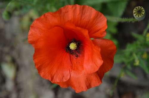Poppy Red Blossom Bloom Flora Nature Garden