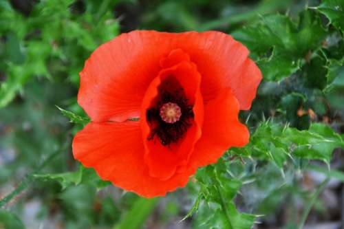 Poppy Flower Plant Red Nature Spring Summer