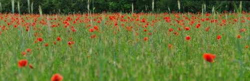 Poppy Panorama Nature Summer Red