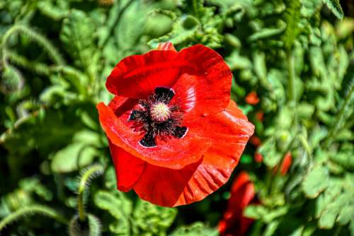 Poppy Flower Nature Red Bloom Garden Plant