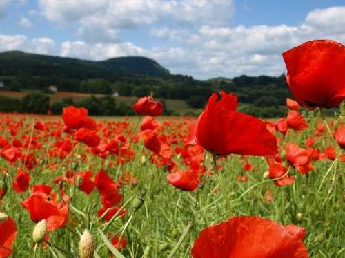 Poppy Summer Red Flower Field Klatschmohn Blossom