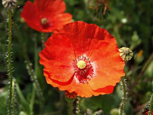 Poppy Spring Red Flower Wild Colorful Macro