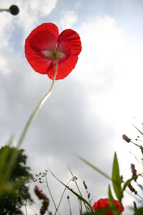 Poppy Sky Blue Red Flowers Field Cloudy Sky