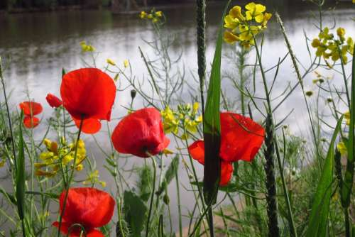 Poppy Grass Weed Pond Water