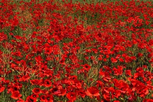 Poppy Brandenburg Flower Germany Wildflowers